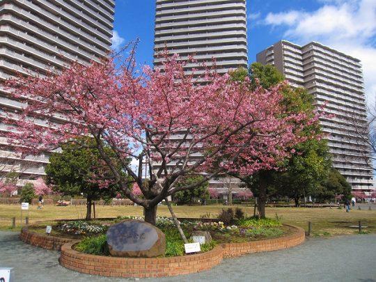 橋本公園の河津桜