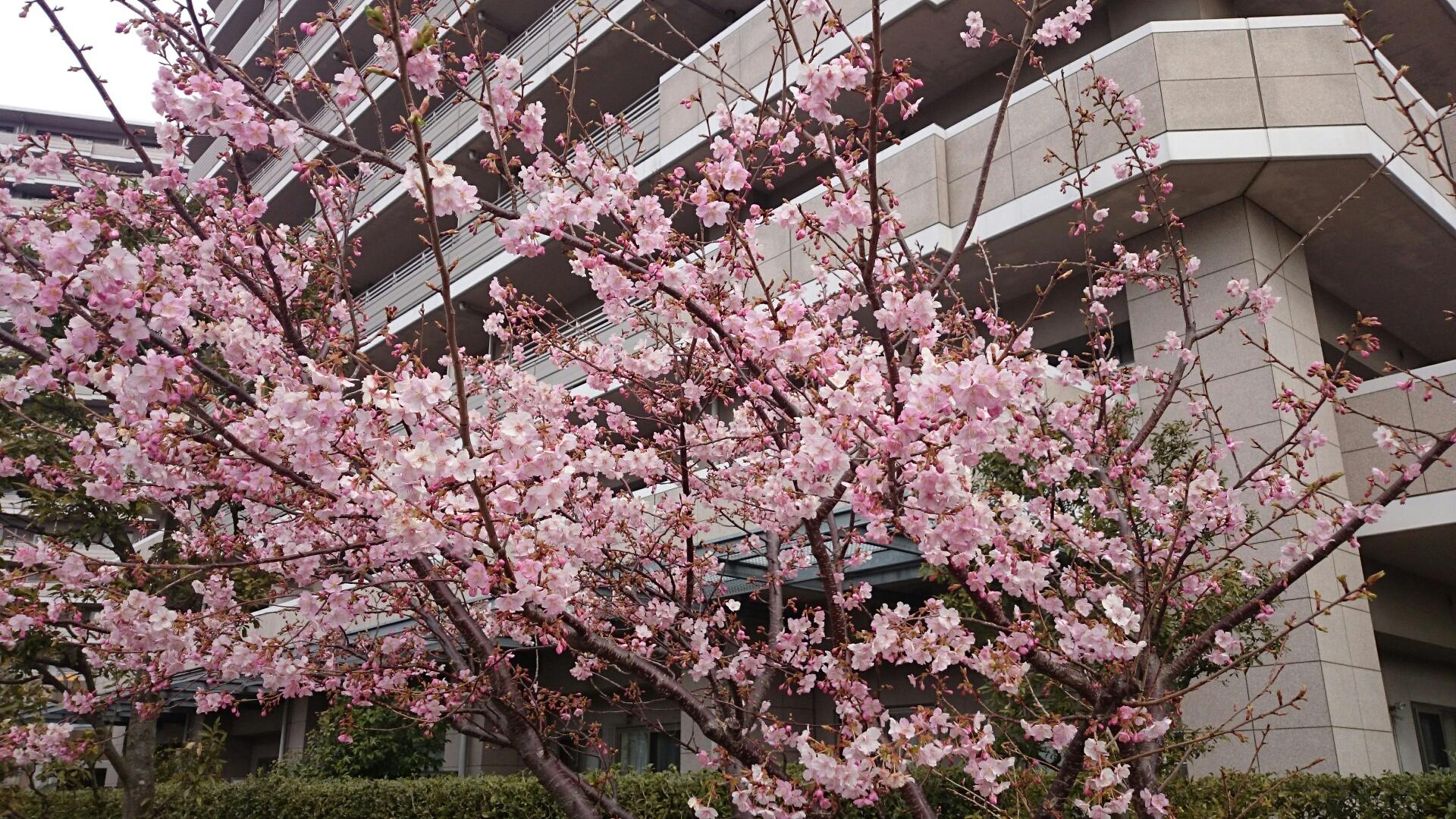 橋本公園の河津桜 2017年02月05日
