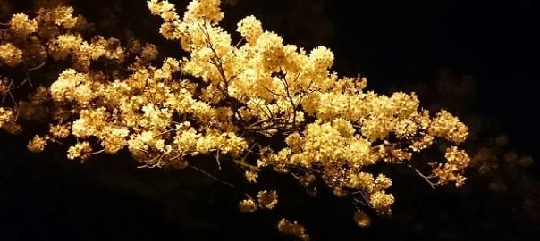 橋本の夜桜