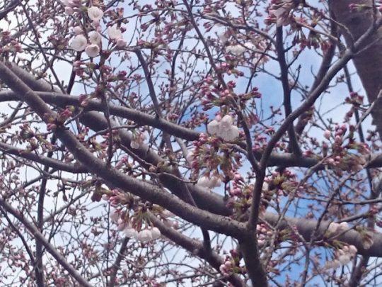 法務局の桜