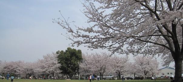小山公園でお花見