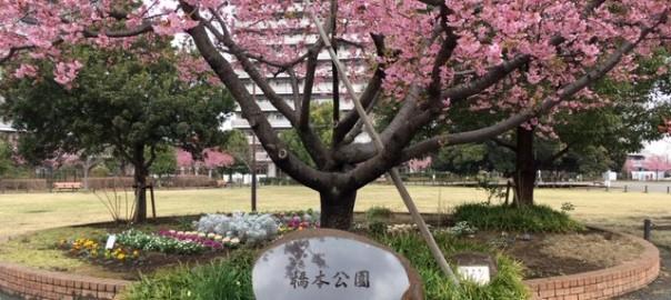 橋本公園の河津桜 2019年3月1日