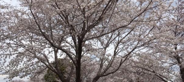 小山公園の桜 2019年4月